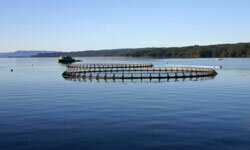 If farmed salmon are diseased or ridden with sea lice, those problems can easily pass to wild salmon populations.