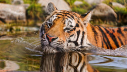 Splitting Tigers Into Subspecies Could Help Save Them From Extinction