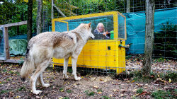 Wolves Are Probably Smarter Than Our Dogs