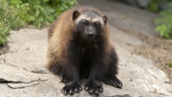 Wolverines Are Superhero Survivor Weasels