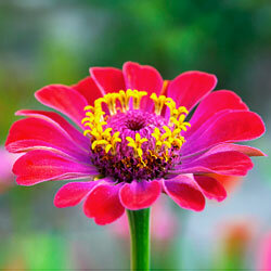 Zinneas are especially interesting because they can have single or multi-colored petals. See more annual flower pictures.