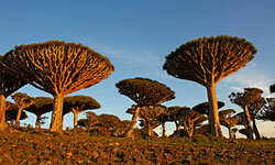 These uniquely-shaped dragon's blood trees are common on Socotra Island.
