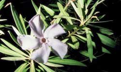 Oleander flowers are beautiful, but the plant is deadly.