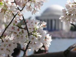 Family Vacations: National Cherry Blossom Festival