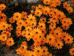 Cape Marigold, African Daisy, Star-of-the-Veldt