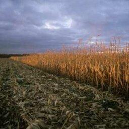Will alternative fuels deplete global corn supplies?