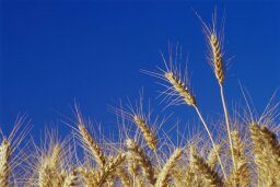 Is American wheat different than European wheat?