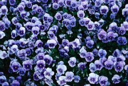 Annuals for Part Shade