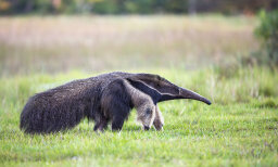 What's the difference between an anteater and an aardvark?