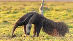 An Anteater's Tongue Can Be 2 Feet Long! Plus 7 Other Peculiar Anteater Facts