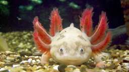 The Super-cute Axolotl Is Also a Ruthless Carnivore
