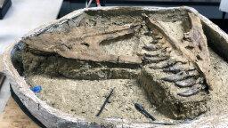 Possible 'Baby' T. Rex Enters Dinosaurian Debate
