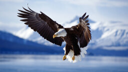 Bald Eagles Aren't Really Bald, Plus 6 Other Facts