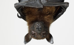 Do you know why bats hang upside down? [QUIZ]