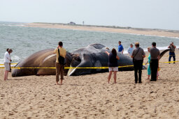 What makes beached whales explode?