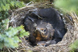 Will birds really abandon their young if humans disturb the nest?