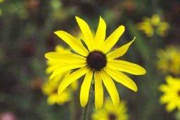 Annual Black-Eyed Susan, Gloriosa Daisy