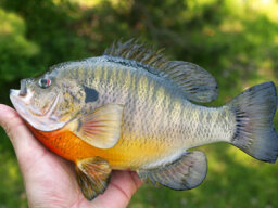 Top 4 Bluegill Fishing Tips