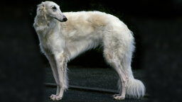 The Greyhound-like Borzoi Can Take Down a Wolf. What Can Your Dog Do?
