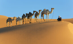 How long can a camel go without water?