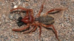 Camel Spiders: Murderous Speed Demons of the Desert