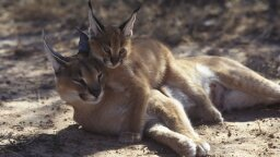 The Caracal's Got Super Jumping Game and Satellite Dish Ears
