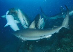 What causes a shark feeding frenzy?