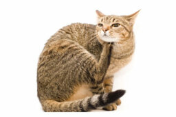 Home Remedies for Cats with Fleas