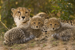 Are cheetahs clones of each other?