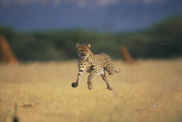 What makes a cheetah run so fast?