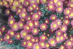 Cobbity Daisy