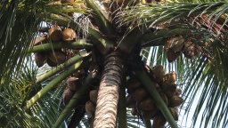 Coconut Palm Trees Could Save Your Life on a Desert Island