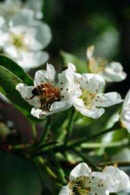 Common Apple