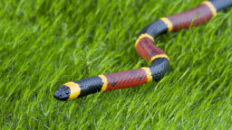 Coral Snakes: Brightly Banded and Highly Venomous