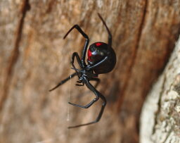 What's the world's deadliest spider?