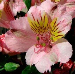 Alstroemeria, Lily of Peru