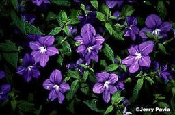 Browallia, Sapphire Flower