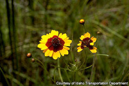 Coreopsis (Annual)