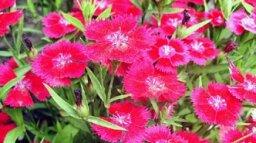 Dianthus, Carnation, Pinks