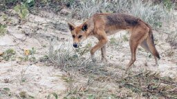 Are Dingoes Dangerous (and Did One Really Eat a Baby)?