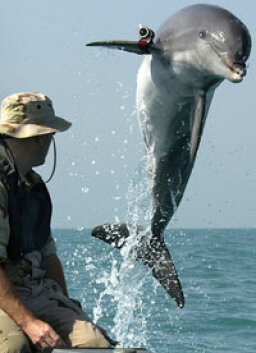 How can dolphins disarm sea mines?