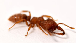Dracula Ant Is 5,000 Times Faster Than the Blink of an Eye