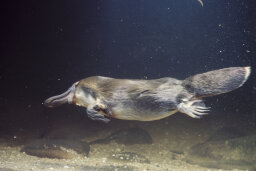 Did people initially think the duckbill platypus was a hoax?