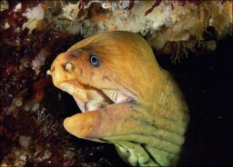 Eel  Facts, Pictures, Video
