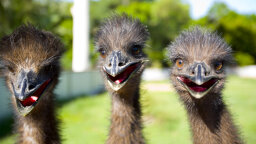 Goofy-looking Emus Are Leggy, Flightless and Very Friendly