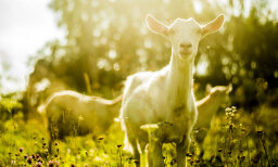 The Ultimate Fainting Goats Quiz