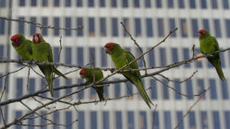 Where Did San Francisco's Wild Parrots Come From?