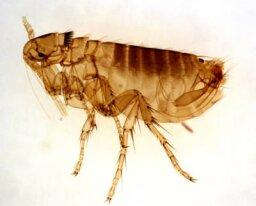 How Fleas Work