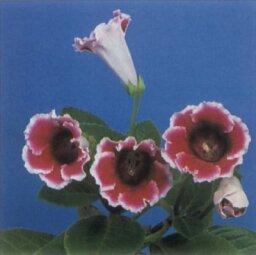 Florist's Gloxina