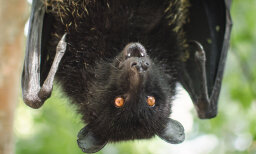 Could a fungus cause the extinction of bats?